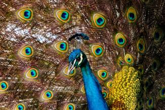 Ethnography peacock
